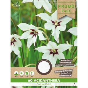 Acidanthera callianthus wit 60 st (5) 978.64
